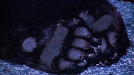 Black bear killed in crash in North Vancouver