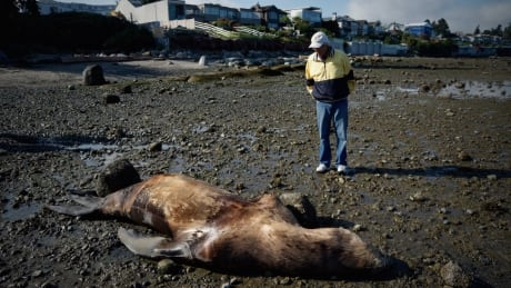'This thing could just explode': dead sea lion concerns Point Grey beach users