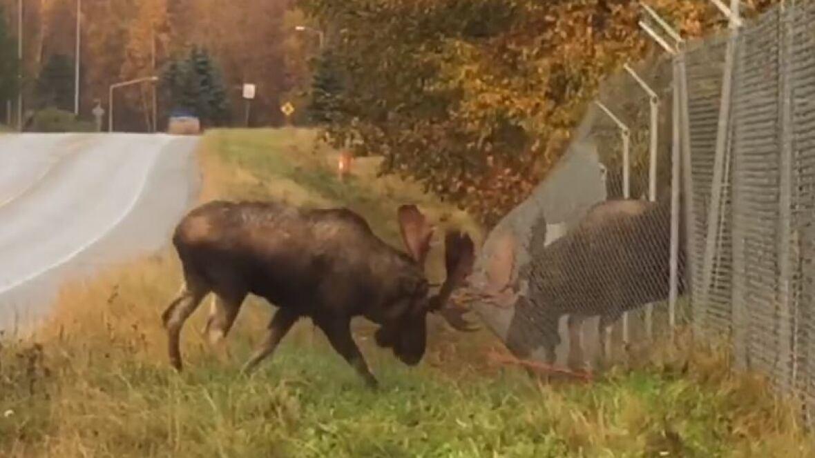 No Fencing Them In Alaska Moose Bash Antlers Through