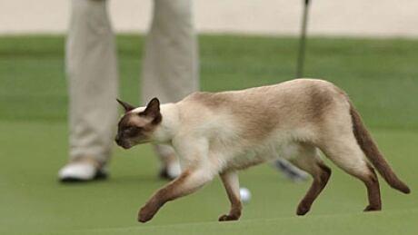 Cat golf