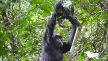 Ideas from the Trenches -  Chimp Parenting