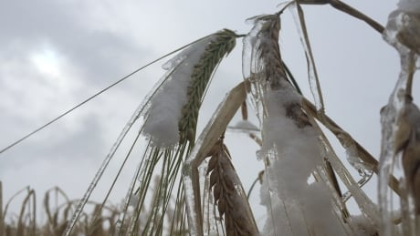 Record snowfall freezes northeastern B.C. grain harvest