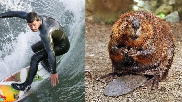 Surfer beaver