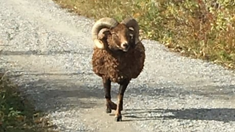 Ram on the lam 'looking for love in all the wrong places'