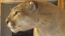 Cougar DNA to be tested