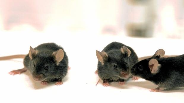 social mice