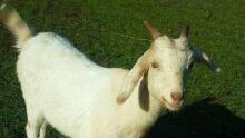 Diane the goat from yarrow bc chilliwack goat slashing victim