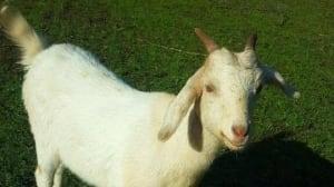 Suspect sought in bizarre goat-slash attacks near Chilliwack, B.C.
