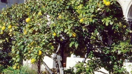 Nature's umbrella: 5 reasons why quince trees are awesome
