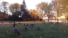 Geese Montreal weather fall