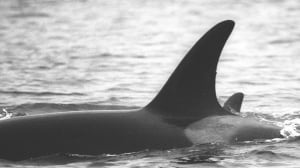 Mother of baby-boom orca dies after months of weight loss