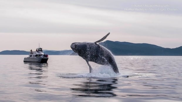 OrcaLab founder Paul Spong said while humpback whale populations are improving, the picture is bleak for some smaller cetacean species.