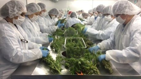 Medical marijuana trimming room