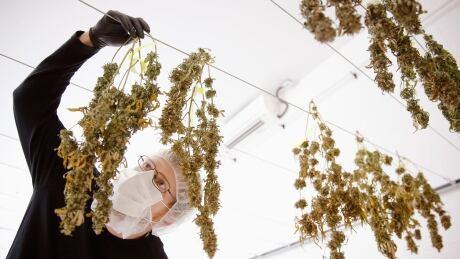 Canada marijuana testing