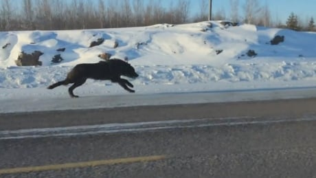 'I thought it was a bear': N.W.T. woman captures ride alongside 2 black wolves