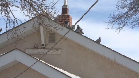 Gordon Loucks - Pigeons