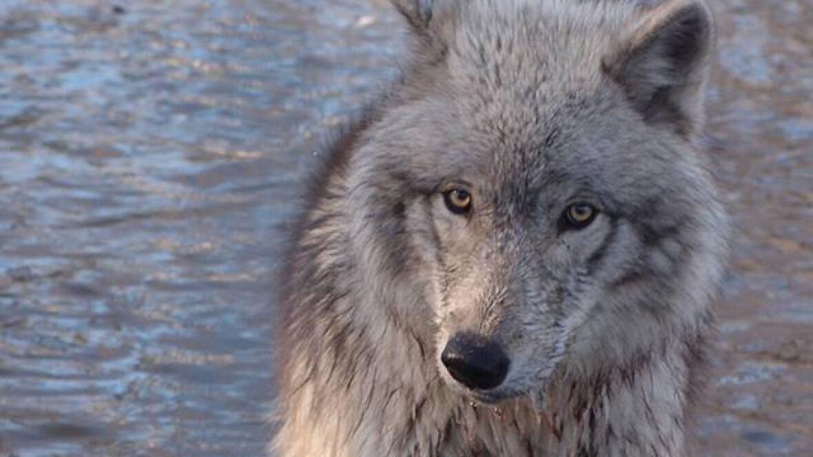 Беременная волчица самый опасный зверь 884