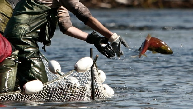 Fraser River is now so warm it may kill migrating sockeye salmon ...the waters of the Fraser — historically one of the world's great salmon rivers — have been so warm this week, Canadian fisheries officials say the migrating sockeye are in danger of dying before they have a chance to spawn.
