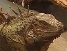 ot-iguana-080725