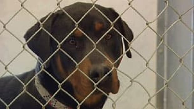 Police say the dog responsible for Wednesday's attack is a rottweiler crossbreed. The dog pictured above is a rottweiler.