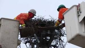 north-inuvik-osprey-nest090