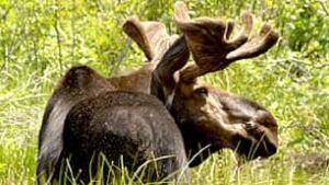 bc-090923-moose