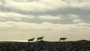 Caribou herd on horizon