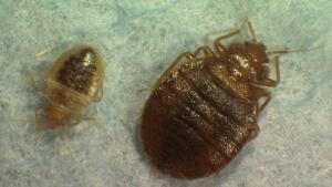 hi-bedbugs