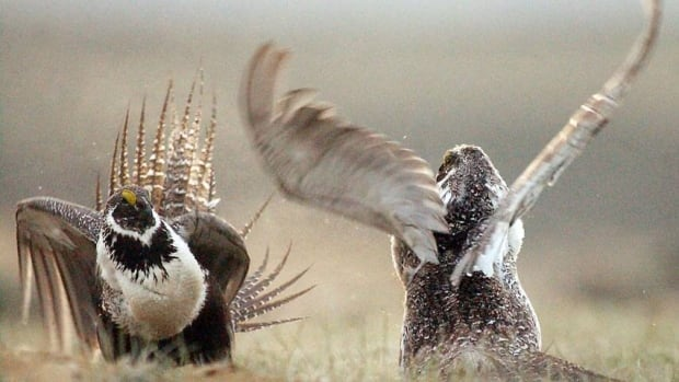 hi-sage-grouse