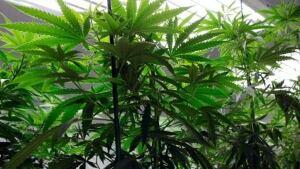 hi-bc-archive-marijuana-grow-op-ed-andrieski-ap
