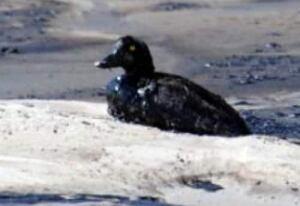 li-oil-soaked-bird