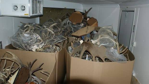 Wildlife officers seized 500 sets of big game antlers in a four-month undercover investigation in central Alberta.