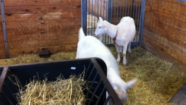 Two female spider goats will not be reproducing but they have that ability, the museum says.