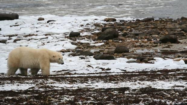 li-permafrost-bear-620-isto