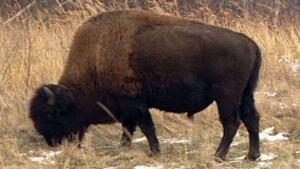 hi-bison
