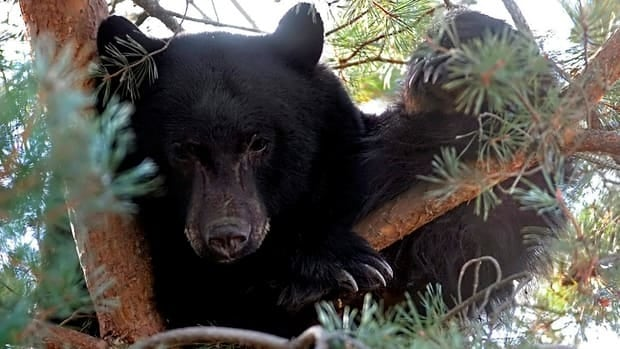 Black bears typically emerge from hibernation between March and May, but in B.C., the conservation service has already had 130 calls about bears, according to WildSafeBC.