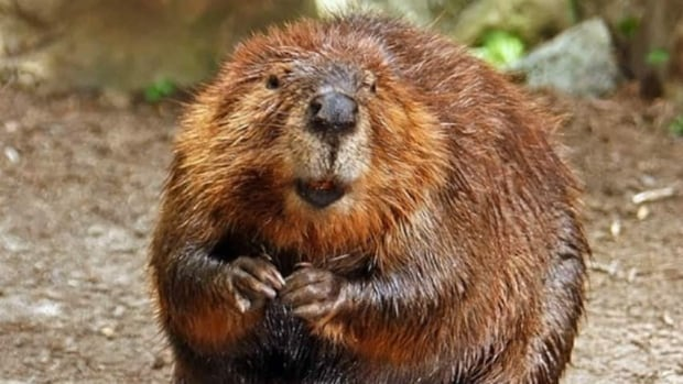 Prices for beaver fur and other furs are on the rise, and it's helping attract new people to learn about trapping.