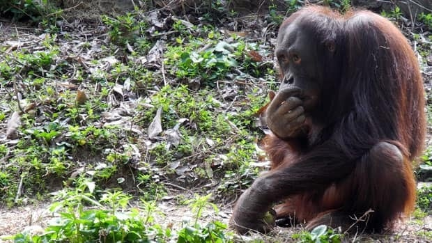 A new study of great apes found they possess the ability to tell when others are holding false beliefs.