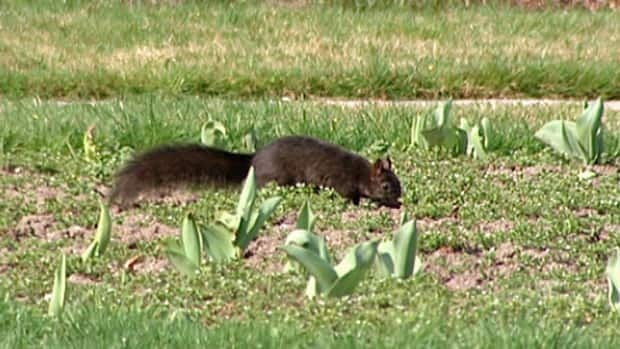 The city uses blood meal to prevent squirrels from digging in their gardens until the ground freezes. But last winter was so mild the ground never froze.