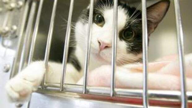 The Saint John SPCA Animal Rescue is planning to send 34 feral cats to be fixed at the Atlantic Veterinary College later this month.