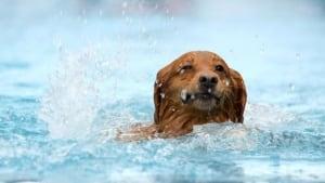 hi-swimming-dog-istock-8col