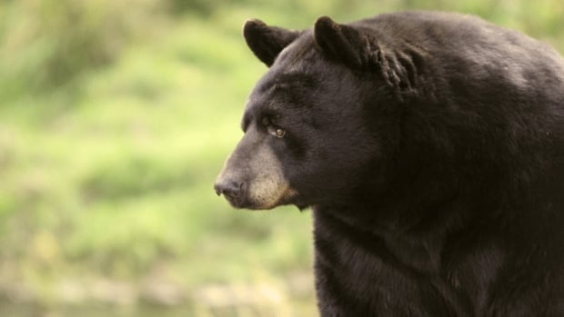 A black bear, similar to the one pictured, has been nosing through people's garbage in a community north of Fredericton for weeks.