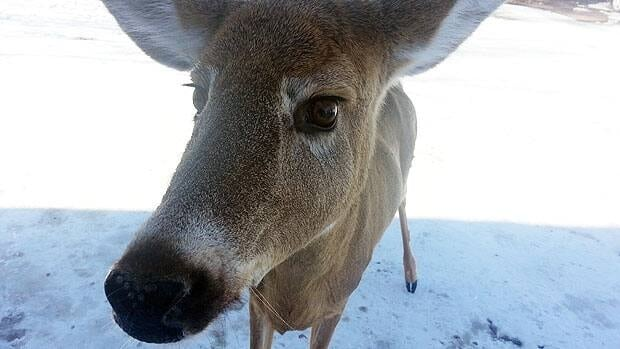 A lost and scared deer had to be euthanized after animal control officers discovered it in a downtown Kitchener parking garage with a broken jaw.