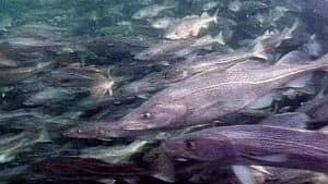 nl-360-cod-fish-stock