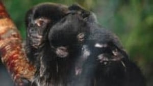 si-nb-baby-monkey-220