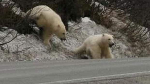 Two polar bears prepare to cross a road in St. Lunaire-Griquet on Wednesday.