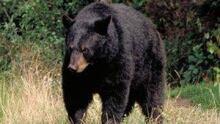 hi-nb-black-bear-852-4col