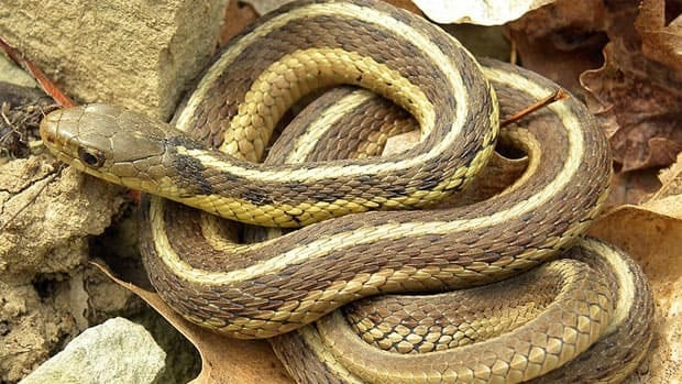 Garter snakes come in different varieties, including this one, an eastern garter snake.