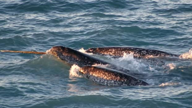 Nunavut hunters will be able to harvest 147 narwhal from the northern Hudson Bay population as part of a new management plan.