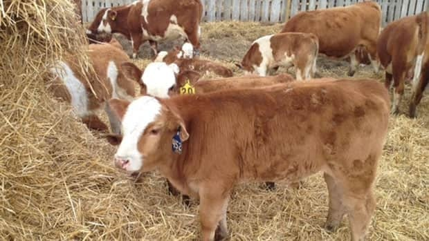 Keeping cattle fed can become expensive when the animals do not have access to pastures.